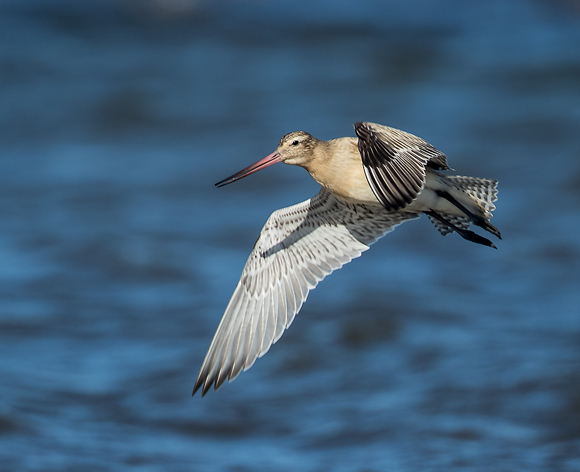 Bar-tailed-Godwit05