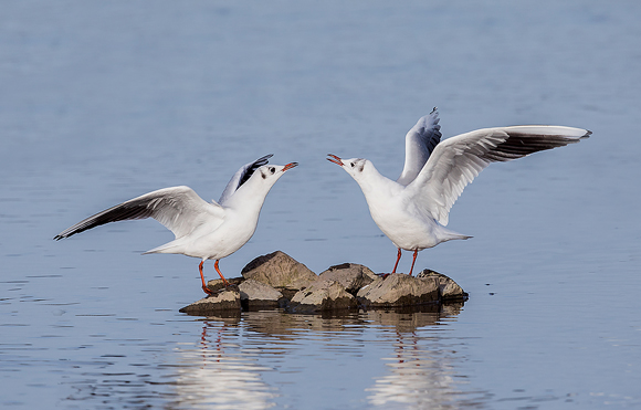 Black-headed-Gull07