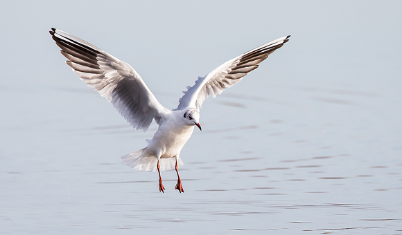 Black-headed-Gull22