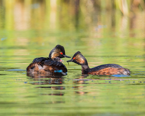 Black-necked-Grebe04