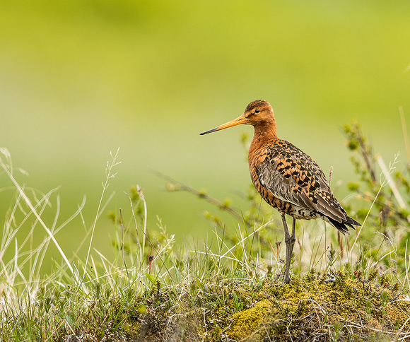 Black-tailed-Godwit15