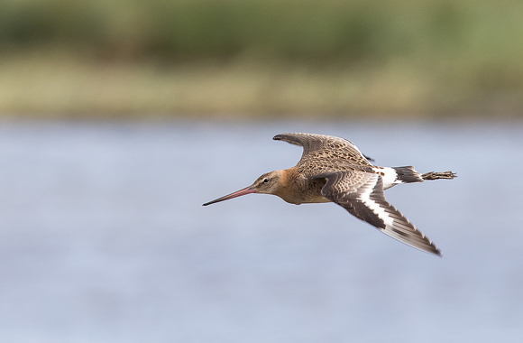 Black-tailed-Godwit54
