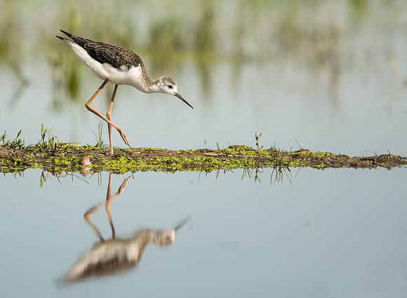 Black-winged-Stilt57