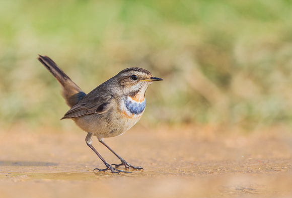 Bluethroat05