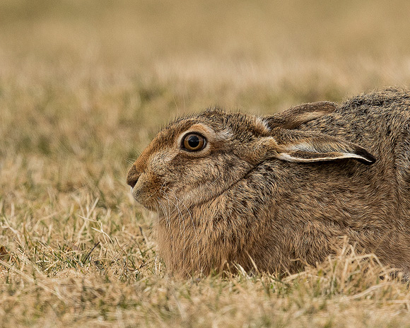 Brown-Hare07