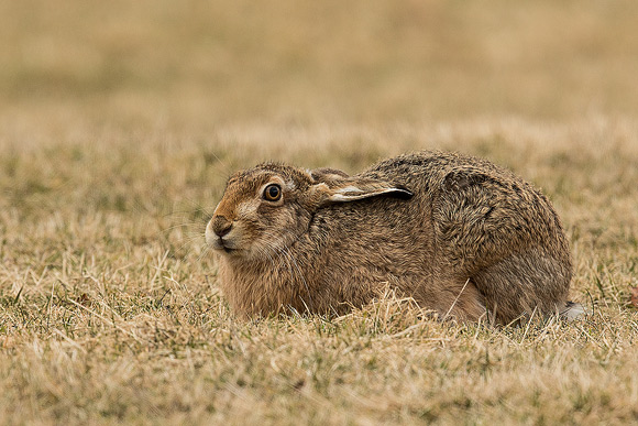 Brown-Hare08