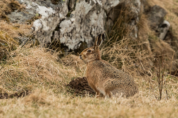 Brown-Hare09