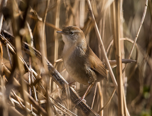 Cetti's-Warbler16