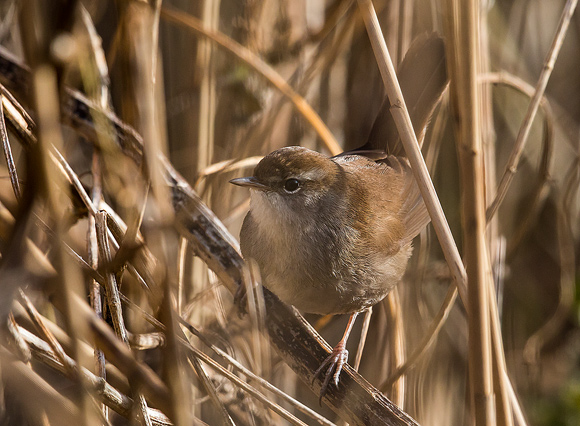 Cetti's-Warbler17