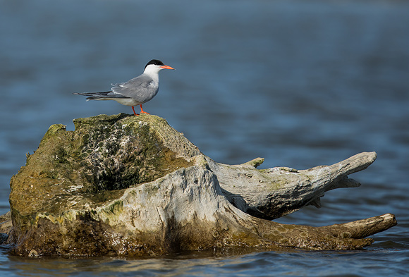 Common-Tern08