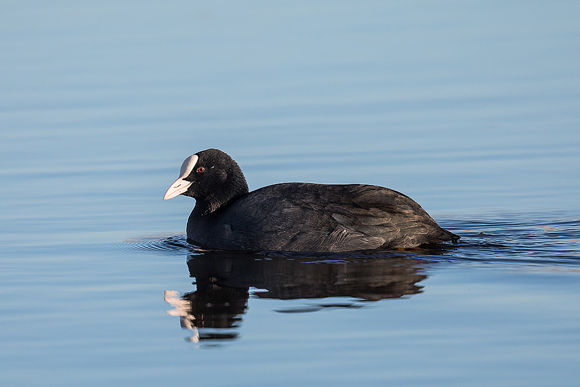 Coot08