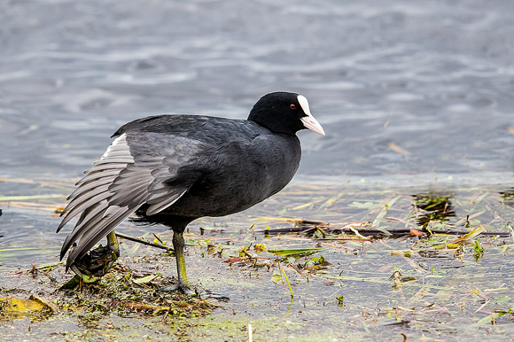 Coot61