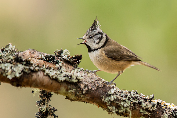 Crested-Tit08