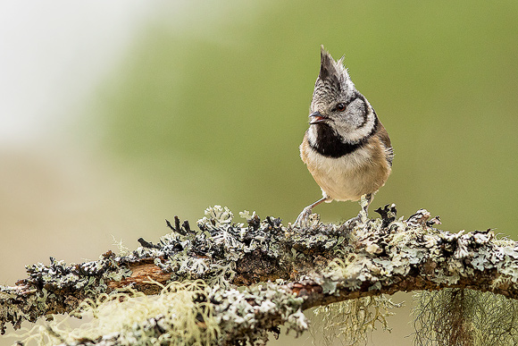 Crested-Tit09