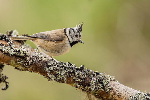 Crested-Tit19