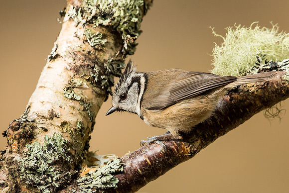 Crested-Tit25