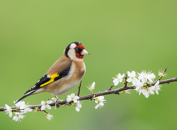 Goldfinch06