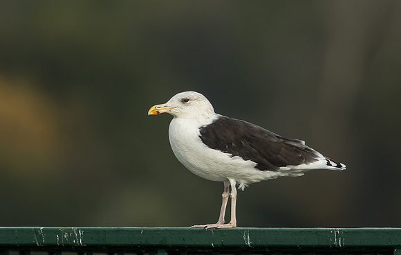 Great-Black-backed-Gull04