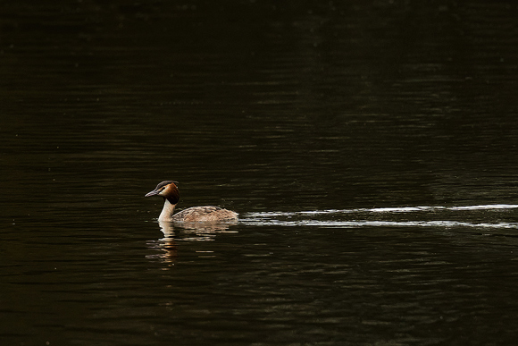 Great-Crested-Grebe09