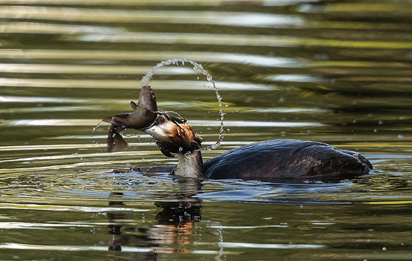 Great-Crested-Grebe14