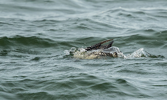 Great-Northern-Diver38