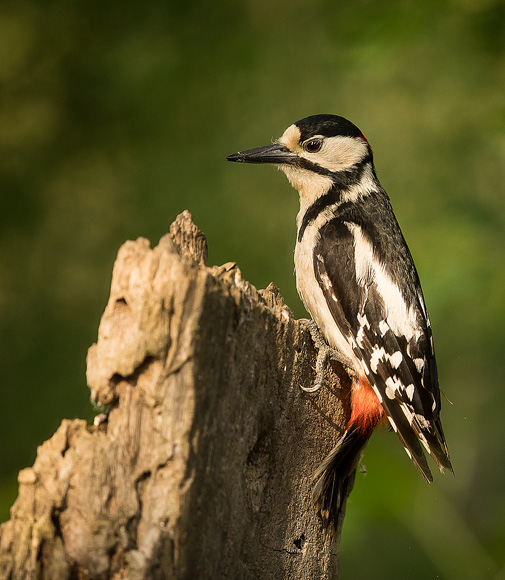 Great-Spotted-Woodpecker05