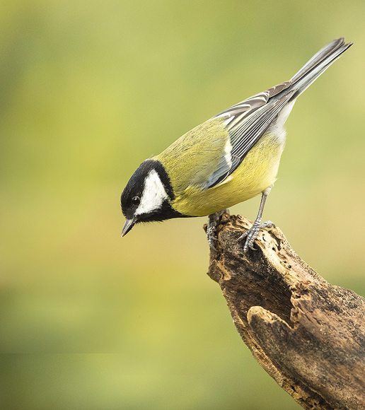 Great-Tit11
