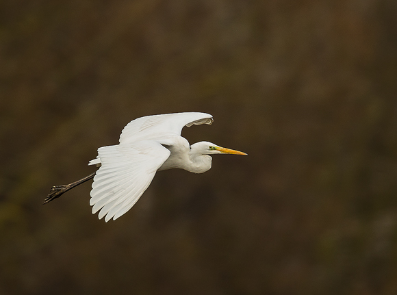Great-White-Egret07