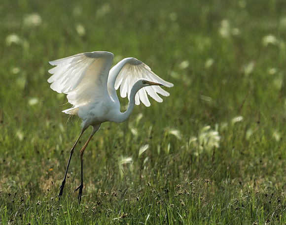 Great-White-Egret08