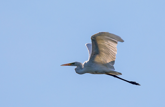 Great-White-Egret52