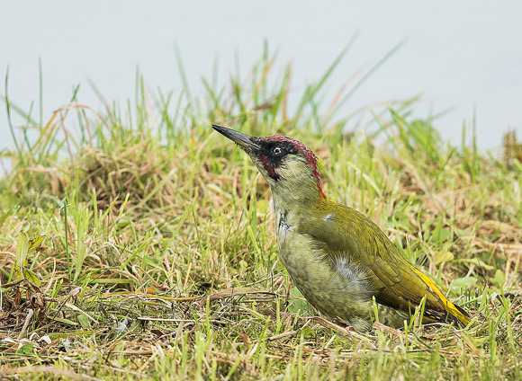 Green-Woodpecker27