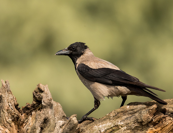 Hooded-Crow07