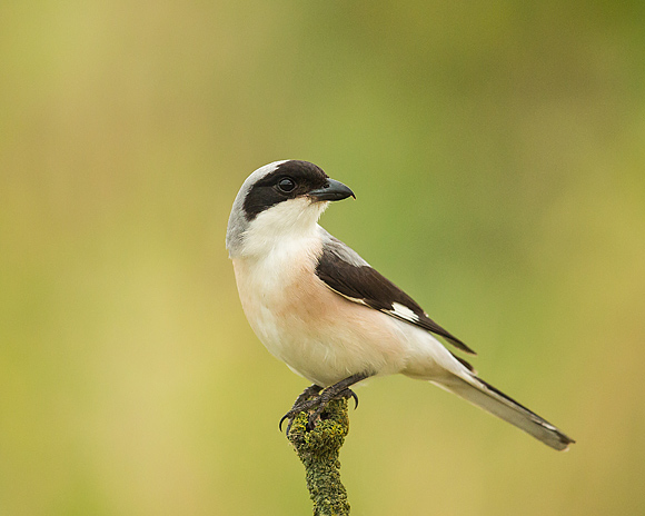 Lesser-Grey-Shrike12