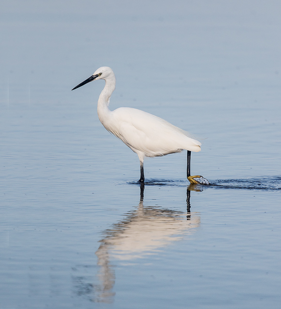 Little-Egret07