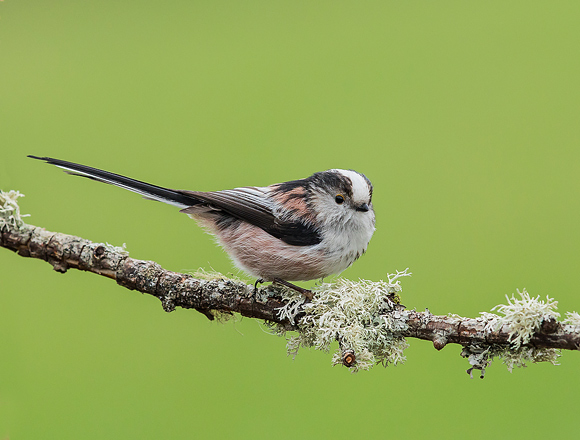 Long-tailed-Tit04