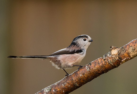 Long-tailed-Tit15