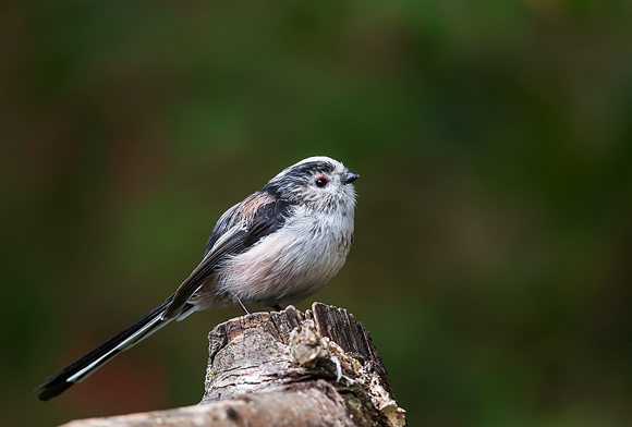 Long-tailed-Tit25