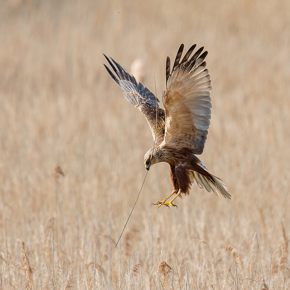 Marsh-Harrier01