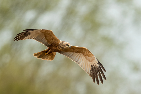 Marsh-Harrier02
