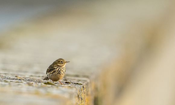 Meadow-Pipit39