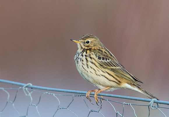 Meadow-Pipit40