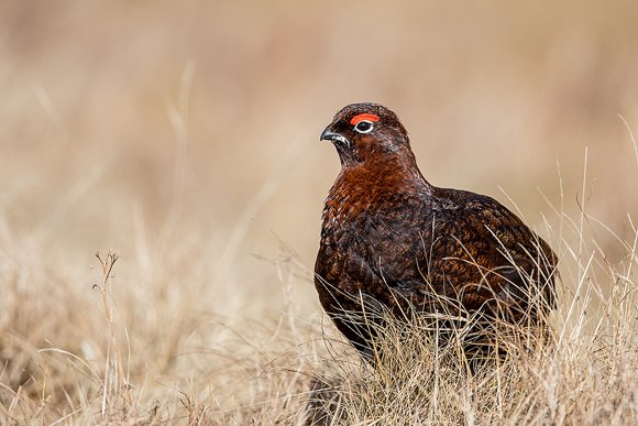 Red-Grouse43