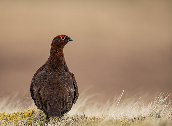 Red-Grouse47