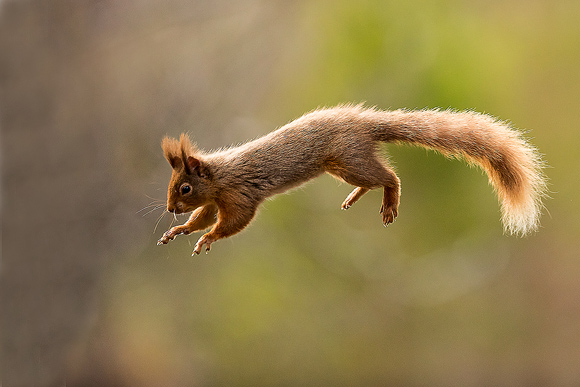 Red-Squirrel01