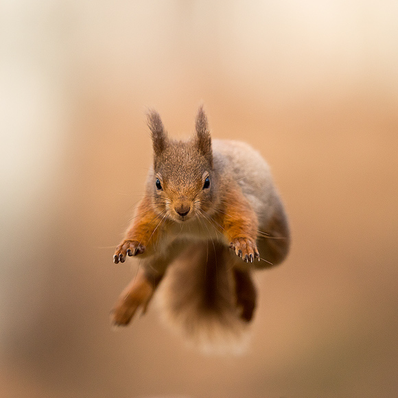 Red-Squirrel02