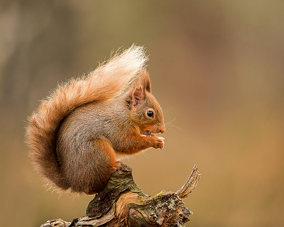 Red-Squirrel03
