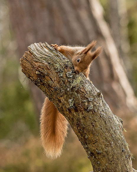 Red-Squirrel11