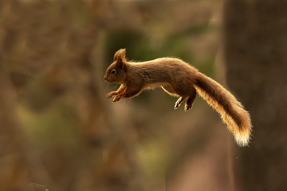Red-Squirrel19