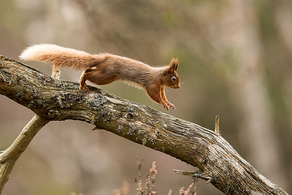 Red-Squirrel20