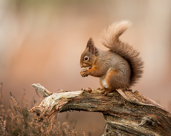 Red-Squirrel26